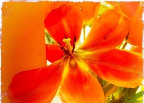 barbara-sinclair-orange-tulips-copy
