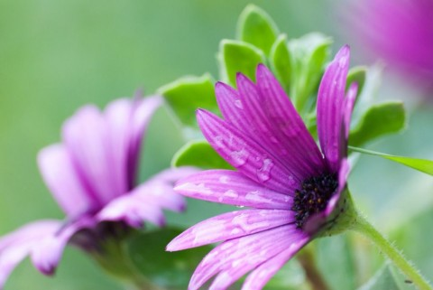 purple-daisy-picture-id879309160