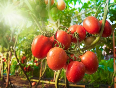 tomato-fruit-with-water-drop-and-sunlight-picture-id671192338
