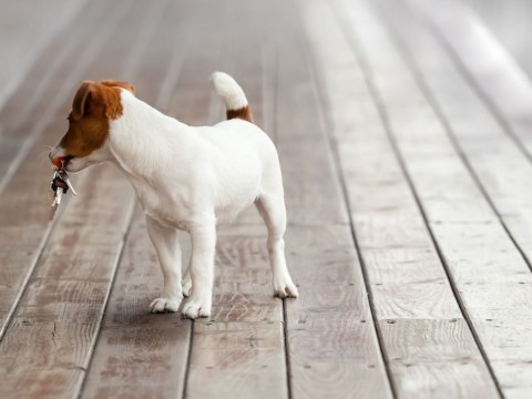 cute-small-keyholder-dog-looking-back-picture-id514633375