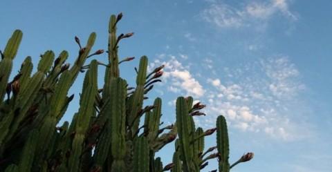 Flowering Wachuma cacti at dusk.