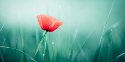 beautiful-red-poppy-picture-id535849937