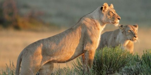 lioness-standing-on-a-rocky-outcrop-or-hill-looking-forwards-picture-id477691443
