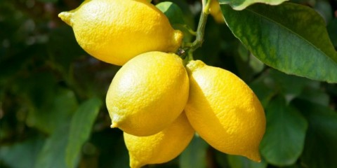 ripe-and-fresh-lemon-on-branch-picture-id615896990