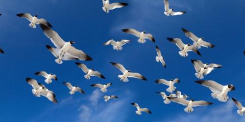 flock-of-birds