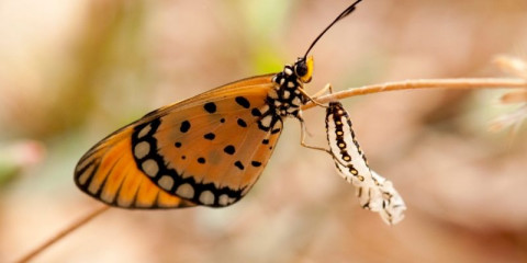 tawny-coster-butterfly-and-its-chrysalis-picture-id540748158