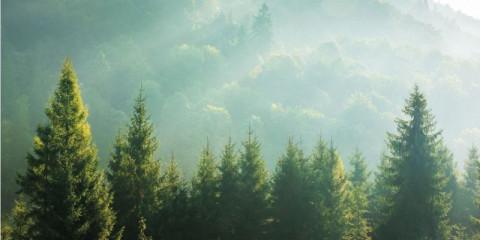 spruce-treetops-on-a-hazy-morning
