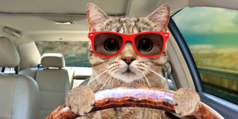 portrait-of-a-cat-with-sunglasses-driving-a-car-picture-id1215945167