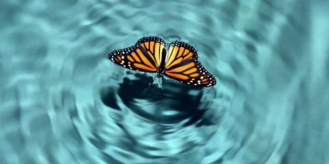 butterfly-in-water-picture-id157315385